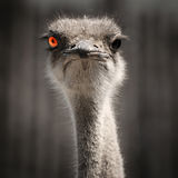 Ostrich with red eye Royalty Free Stock Images