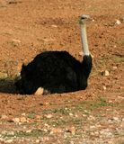 Ostrich resting Stock Images