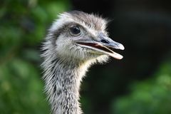 The Ostrich, Rhea, Profile Stock Images