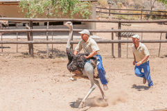 Ostrich riding Stock Image