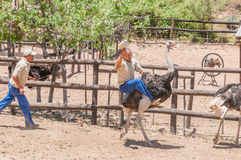 Ostrich riding Stock Images