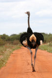 Ostrich on Road. Ostrich male walking on a sandy track in Tsavo East National Park, Kenya Royalty Free Stock Image