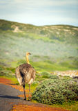Ostrich Beside Road Royalty Free Stock Image