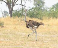 Ostrich on the Run Royalty Free Stock Images
