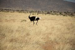 Ostrich walking across the grasslands in Kenya, Africa royalty free stock photos