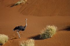 Ostrich running in desert dunes Royalty Free Stock Image