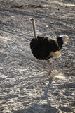 Ostrich with running in field. Royalty Free Stock Image