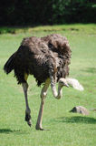 Ostrich running on grass Stock Images