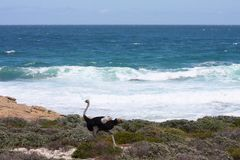 Ostrich running along the sea coast. Stock Images