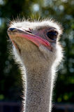 Ostrich in the Russian Park of birds. Stock Photo