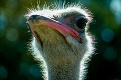 Ostrich in the Russian Park of birds. Royalty Free Stock Photo