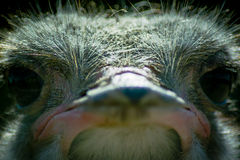 Ostrich in the Russian Park of birds. Royalty Free Stock Image