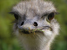 Ostrich's face. With own gaze fixed ostrich Stock Images