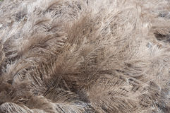Ostrich's feathers Royalty Free Stock Photo