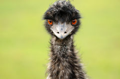 An Emu Gaze. An emu staring straight at the camera Stock Images