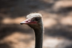Ostrich`s head. Close-up shot of an ostrich`s head Stock Photo