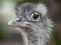 Ostrich's head. Closeup of the head of an ostrich with well-defined details Royalty Free Stock Image