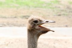 Ostrich`s head on nature background. Closeup view of a ostrich`s head Royalty Free Stock Photography