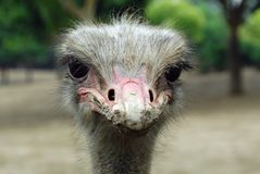 Ostrich's innocent eyes Royalty Free Stock Image