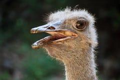 Ostrich& x27; s-Kopf Lizenzfreie Stockbilder