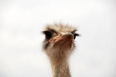 Ostrich's look. An ostrich's look - South Africa royalty free stock images