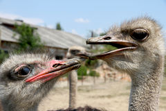 Ostrich's love. Devotion look. Ostriches fast and big birds in the nature Stock Photos