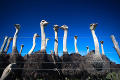 Ostrichs Birds Farming. Flock of ostrich birds grouped along a wire fence in the morning on a clear blue day Stock Photo