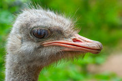 Ostrich and a sad sight Stock Photos