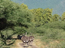 Ostrich On Safari Road Royalty Free Stock Photography