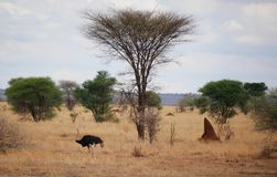 Ostrich in Africa safari Tarangiri-Ngorongoro. Ostrich in Safari in Tarangiri-Ngorongoro, safari ostriches, savanna, ostrich in the natural environment, wildlife royalty free stock photography