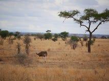 Ostrich in Africa safari Tarangiri-Ngorongoro. Ostrich in Safari in Tarangiri-Ngorongoro, safari ostriches, savanna, ostrich in the natural environment, wildlife royalty free stock photo