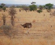 Ostrich in Africa safari Tarangiri-Ngorongoro. Ostrich in Safari in Tarangiri-Ngorongoro, safari ostriches, savanna, ostrich in the natural environment, wildlife stock photography