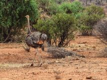 An ostrich in Samburu National Reserve, Kenya stock photography