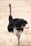 Ostrich. In the savannah of kenya Stock Photography