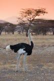 Ostrich in savannah sunset kenya. Ostrich walking across savannah in Samburu national reserve, at sunset Stock Photography