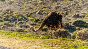 Ostrich searching for food at Cape Point Nature Reserve on the Cape Peninsula Stock Image