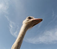 Ostrich 013 Royalty Free Stock Photography
