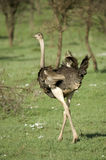 Ostrich in the serengeti Royalty Free Stock Photography