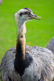 Ostrich showing head and neck Stock Images