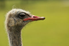 Ostrich. Side profile portrait of an Ostrich against a green background royalty free stock images