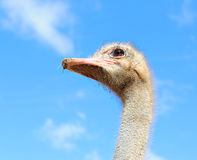 Ostrich in the sky Royalty Free Stock Photo