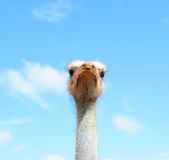 Ostrich in the sky Stock Images