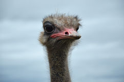 Ostrich and the sky. Ostrich head close-up on a background overcast sky Royalty Free Stock Photography