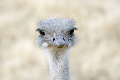 Ostrich Smile. Ostrich facing forward close up royalty free stock images
