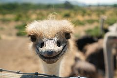 Ostrich Smile, Portrait of Ostrich royalty free stock image