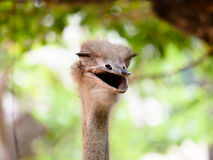 Ostrich smile. Smile of a ridiculous ostrich close up Stock Images
