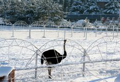 Ostrich and snow winter motifs Stock Images