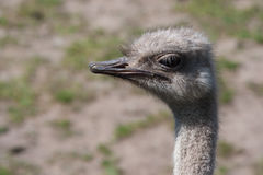 Ostrich in soft focus Stock Images