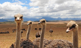 Ostrich South Africa Stock Photos