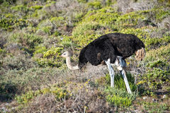 Ostrich, South Africa Royalty Free Stock Photography